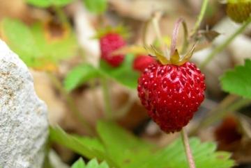 http://agroepidotiseis.blogspot.ca/2016/07/fraises-des-bois.html