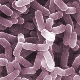 Lacobacillus casei